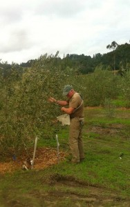 Grower Roger Wolfe picks olives for Dos Aguilas award winning oils