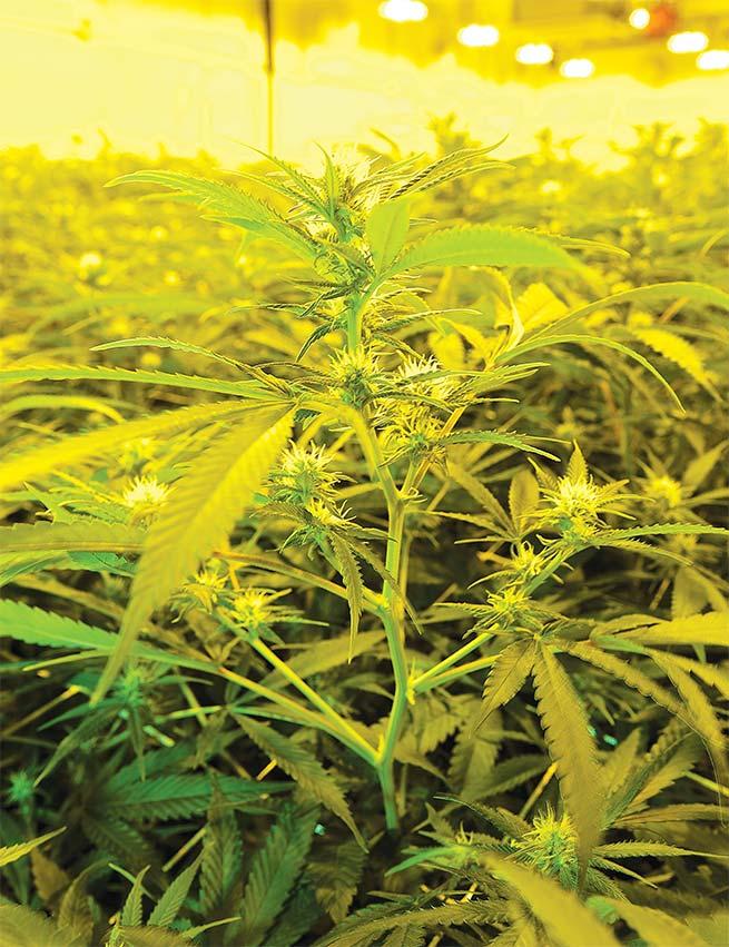 cannabis-bowl